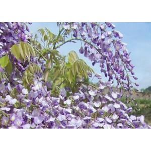 Fleur  de  Glycine  Fraiche        / Bq