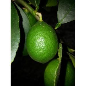 Citron  vert   (  Lime de Tahiti )                        /Kg