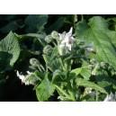 Petites feuilles de Bourrache Fraiche   en Bq