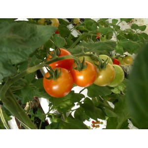 Mini Tomate     Rouge