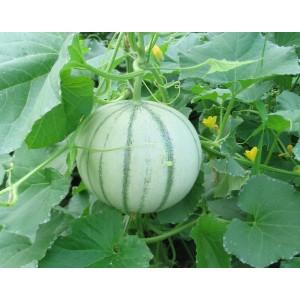 Melon        (AB)                    /Kg