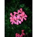 Fleurs de Géranium                  /Bq