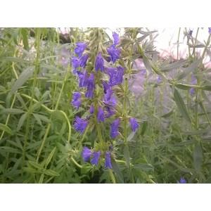 Fleurs  d'  Hysope