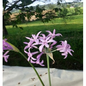 Fleurs   d'Agapanthail   Btte