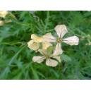 Fleurs  de  Roquette