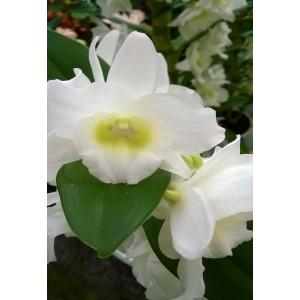 Fleurs d' Orchisée    / Bq