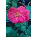 Fleurs de   Rose  / Bq