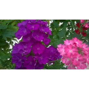 Fleurs  de  verveine      / Bq