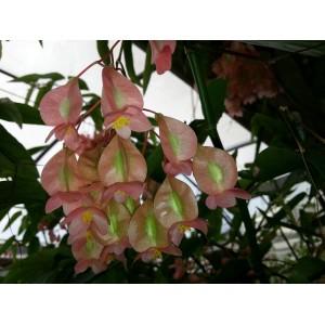 Fleurs  de  Bégonia  Bambou
