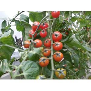 Tomates  Groseille  rouge