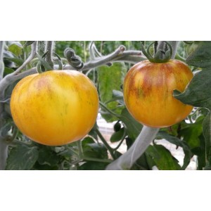 Tomate  Ancienne  Jaune