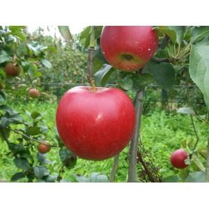 Pomme de Bouche   '' Crimson  Crisp ''    (AB)