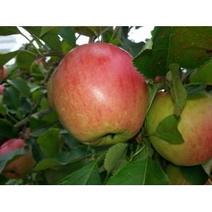 Pomme de Bouche       (AB)
