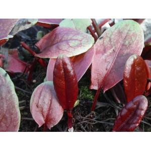 Betterave  Rouge  petites feuilles    en Bq