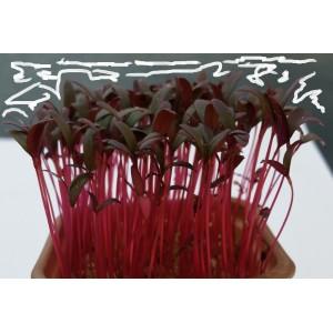 Micro Amaranthe Rouge
