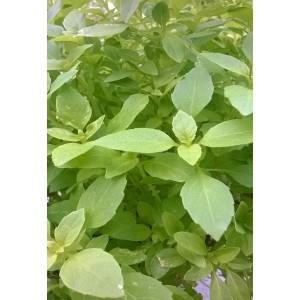 Basilic Citron  Frais